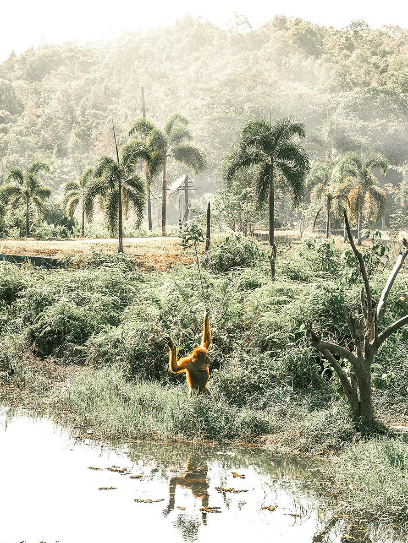 orangutan-bandung